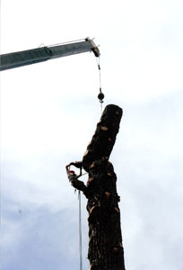 Crane attached to tree with worker